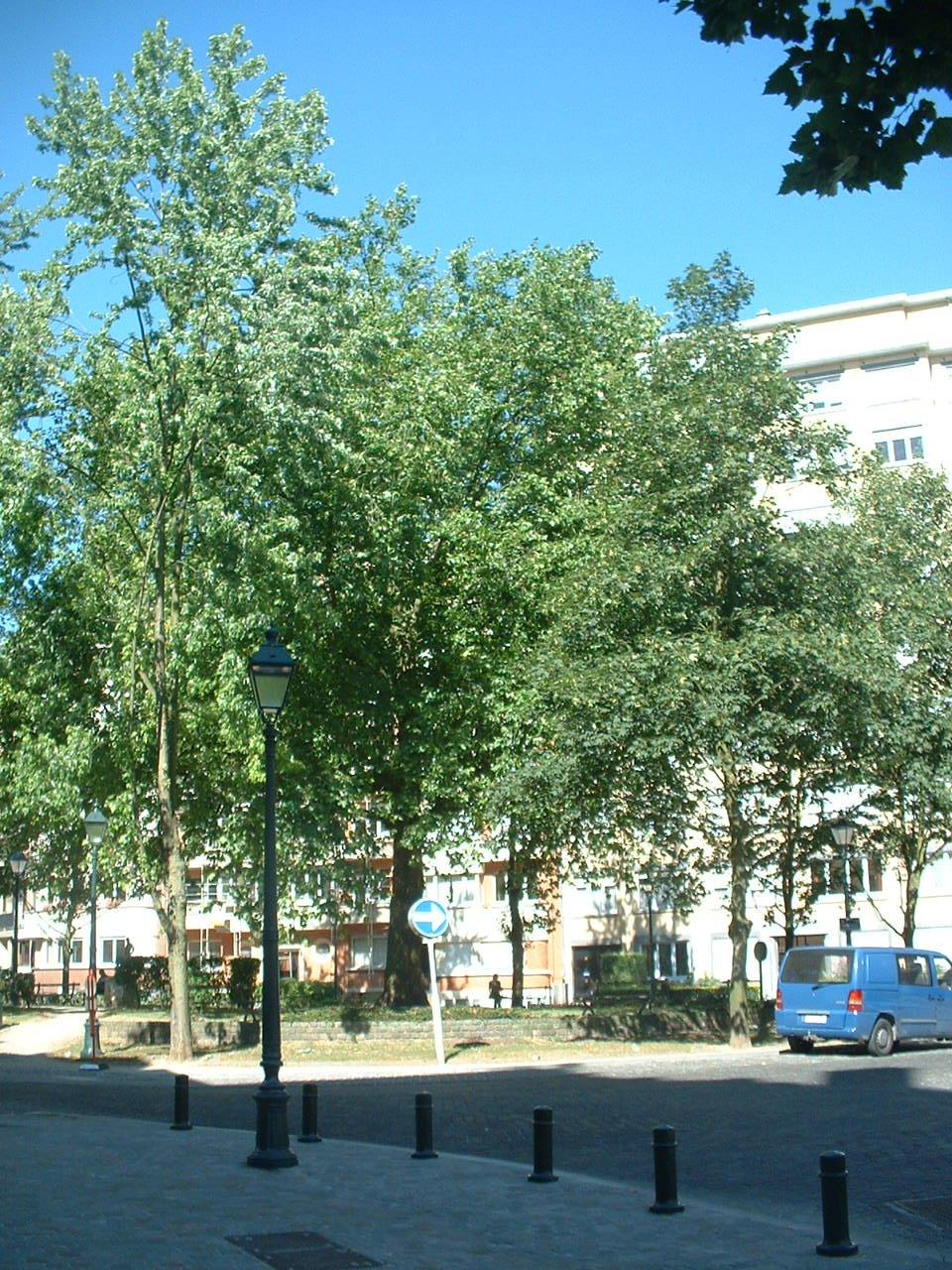 Platane à feuille d'érable – Forest, Place Constantin Meunier –  18 Juillet 2006