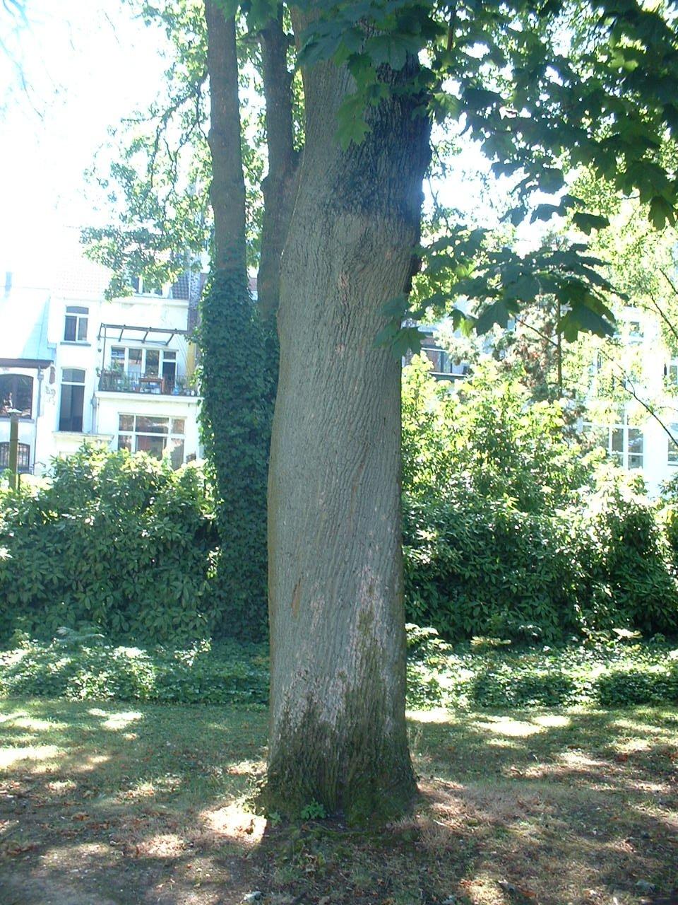 Erable plane – Forest, Jardin de l'école normale de Berkendael, Rue Berkendael, 70 –  18 Juillet 2006