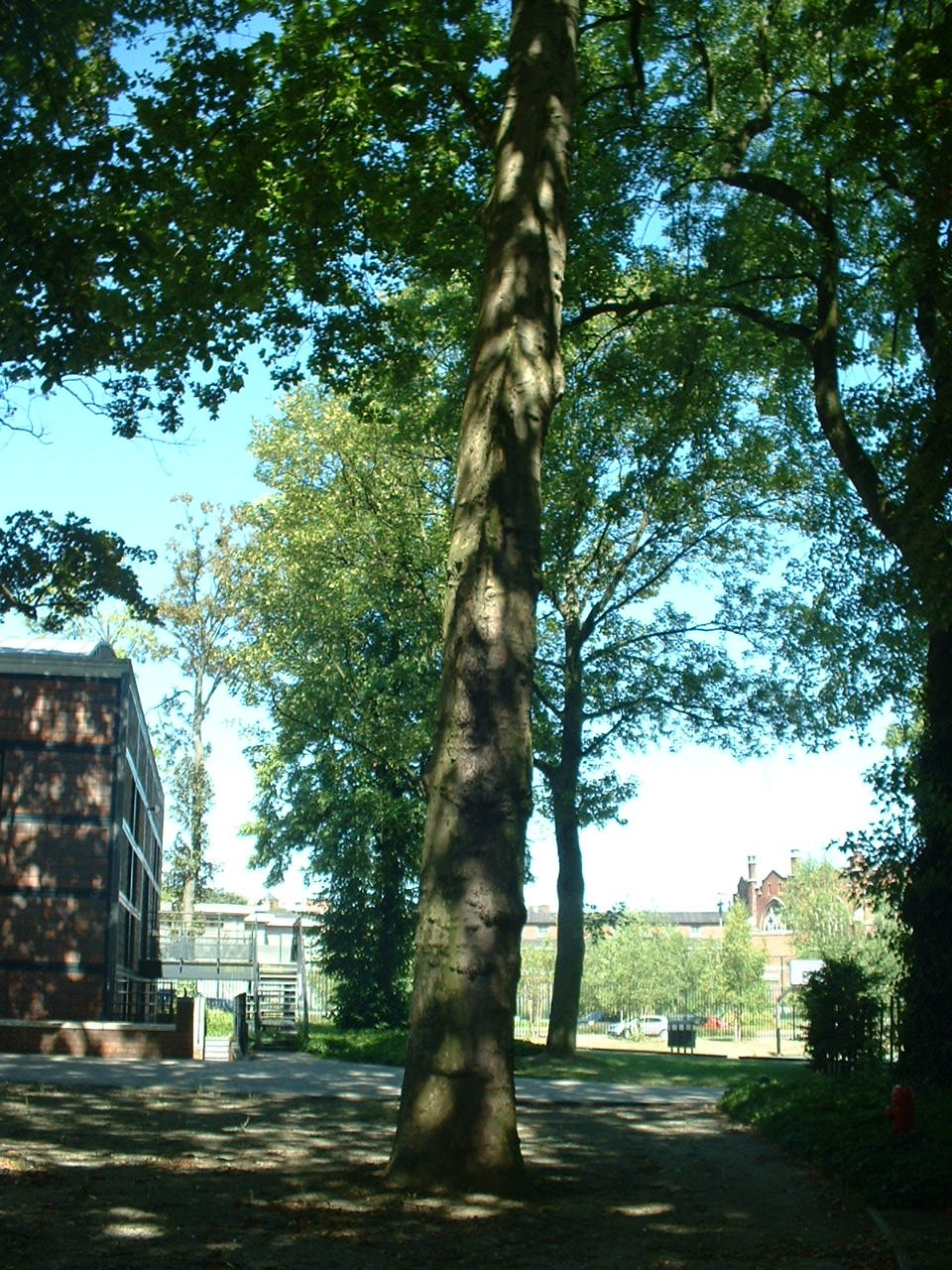 Platane à feuille d'érable – Forest, Jardin de l'école normale de Berkendael, Rue Berkendael –  18 Juillet 2006