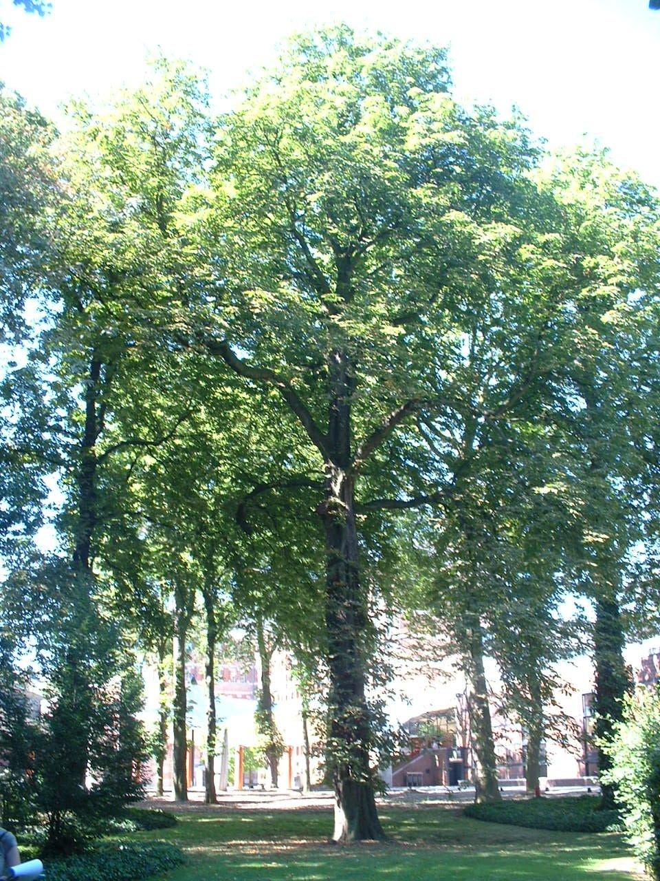Marronnier commun – Forest, Jardin de l'école normale de Berkendael, Rue Berkendael, 70-72 –  18 Juillet 2006