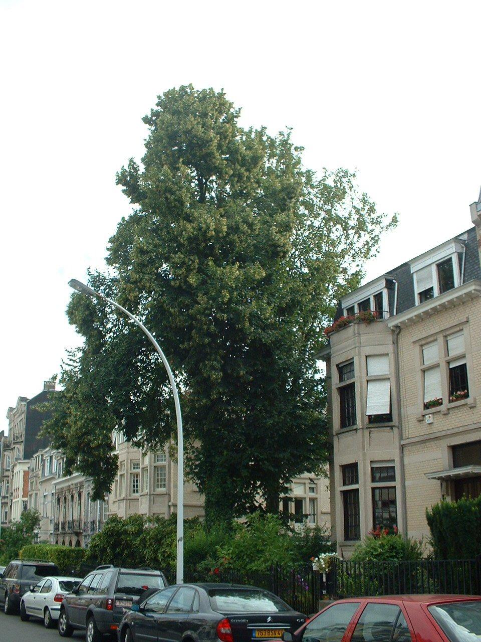 Tilia sp – Forest, Square Larousse, 20 –  02 Août 2006
