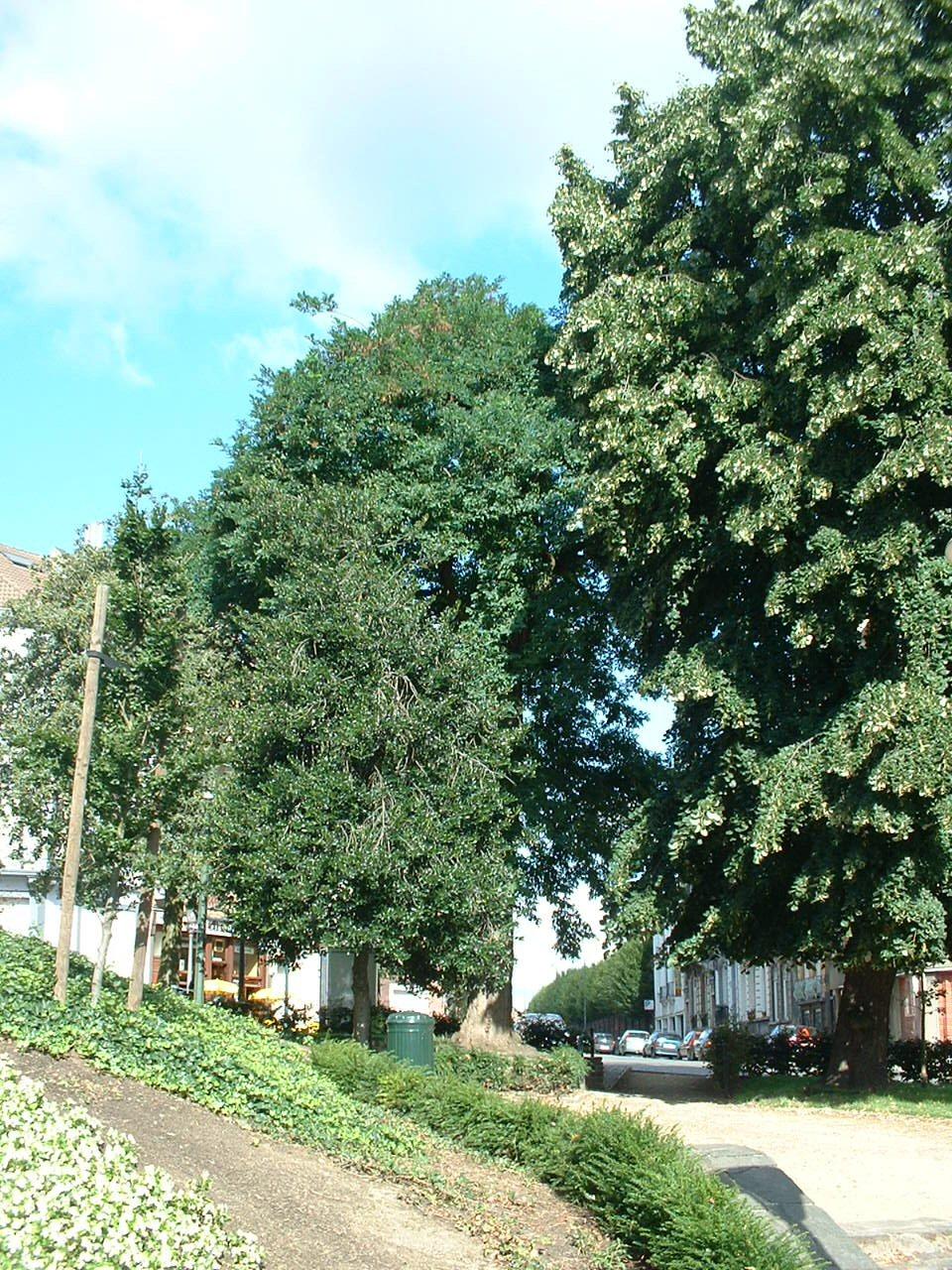 Robinia pseudoacacia var. unifoliola – Bruxelles, Rue du Champ de l'Eglise –  08 Août 2006