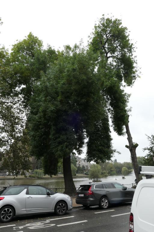 Frêne à feuilles étroites – Ixelles, Etangs d'Ixelles, Avenue du Général de Gaulle –  27 Septembre 2019