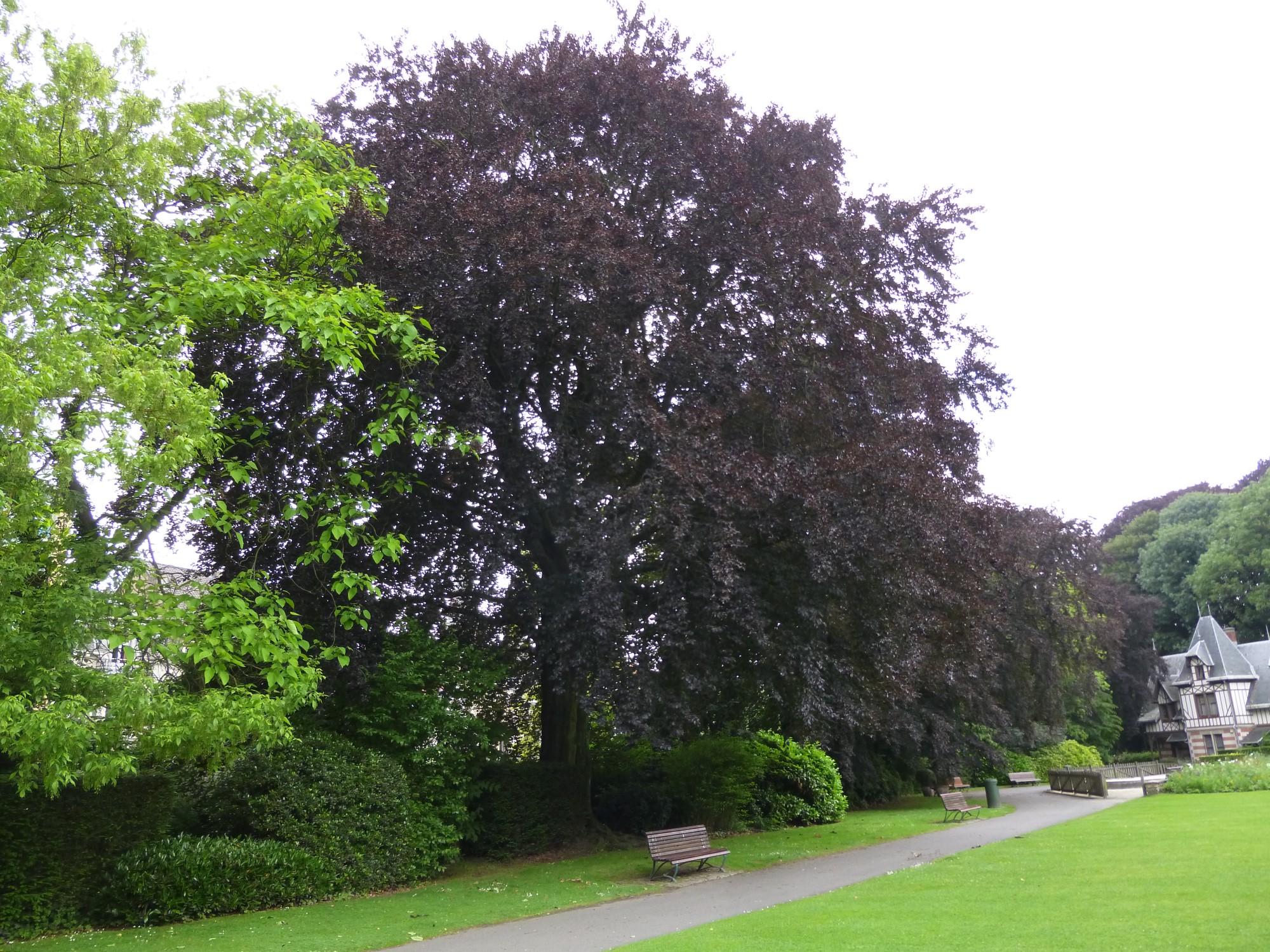 Hêtre pourpre – Bruxelles, Parc Sobiesky et Jardin colonial, Avenue Jean Sobieski –  24 Juin 2013