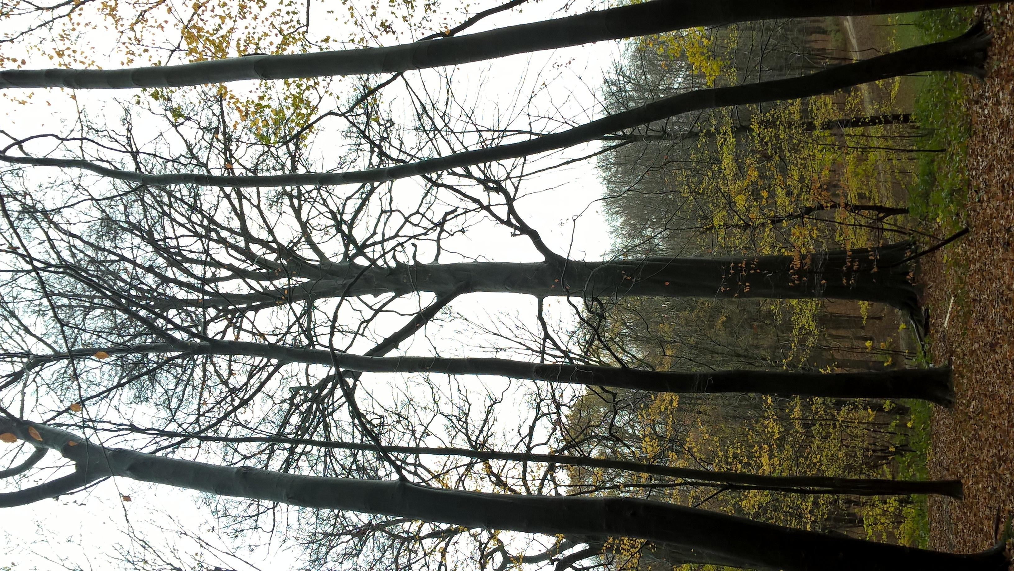 Hêtre d'Europe – Bruxelles, Bois de la Cambre –  01 Décembre 2020