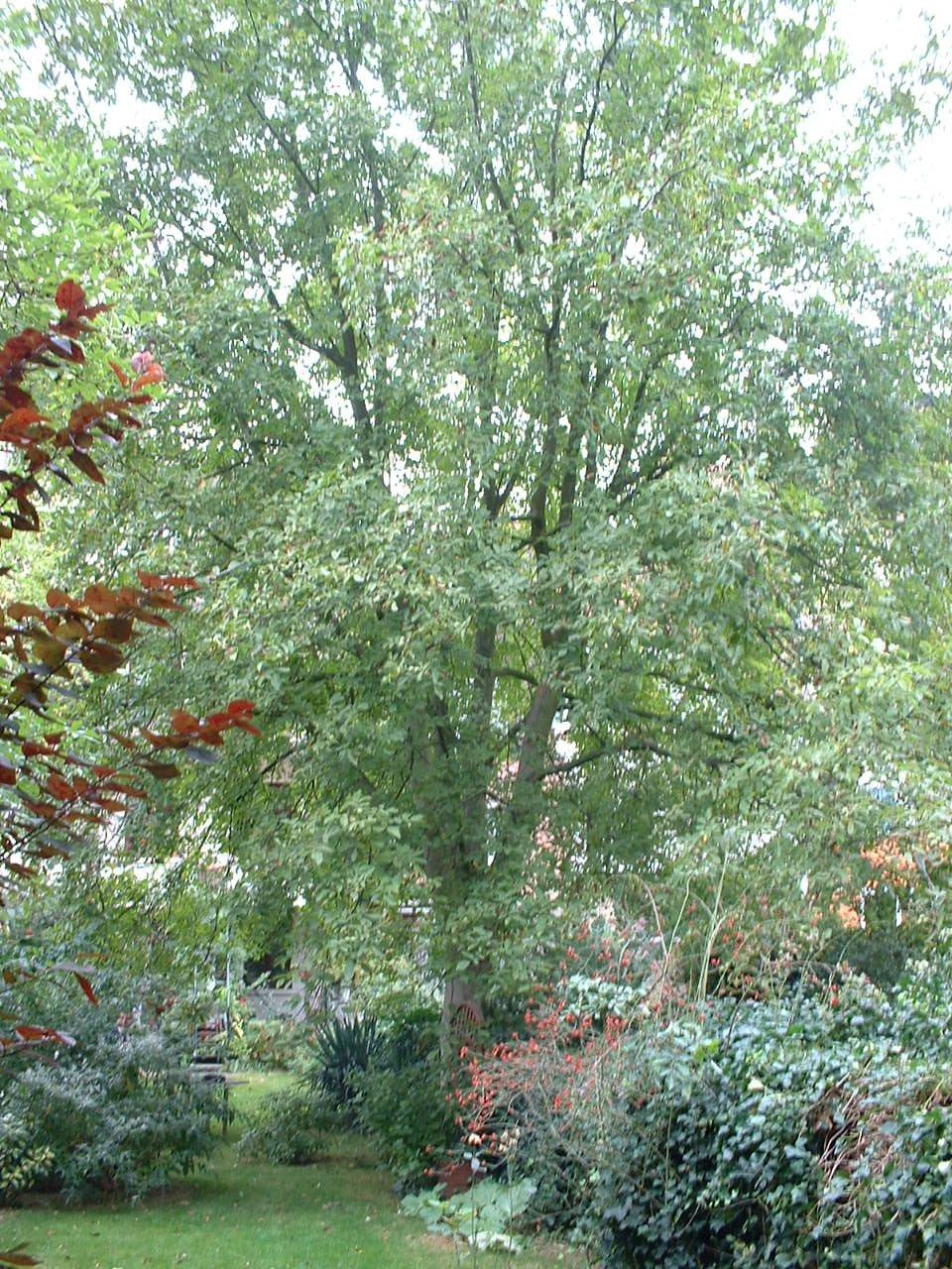 Noyer royal – Woluwé-Saint-Lambert, Avenue Louis Gribaumont, 91 –  19 Septembre 2006