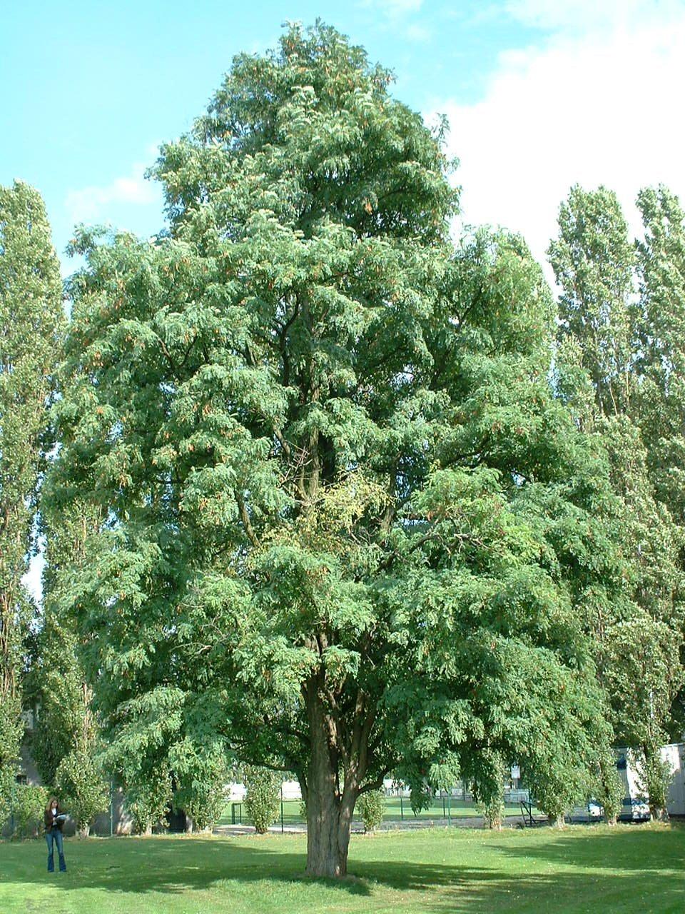 Robinier faux-acacia – Bruxelles, Avenue des Croix de Guerre –  28 Septembre 2006