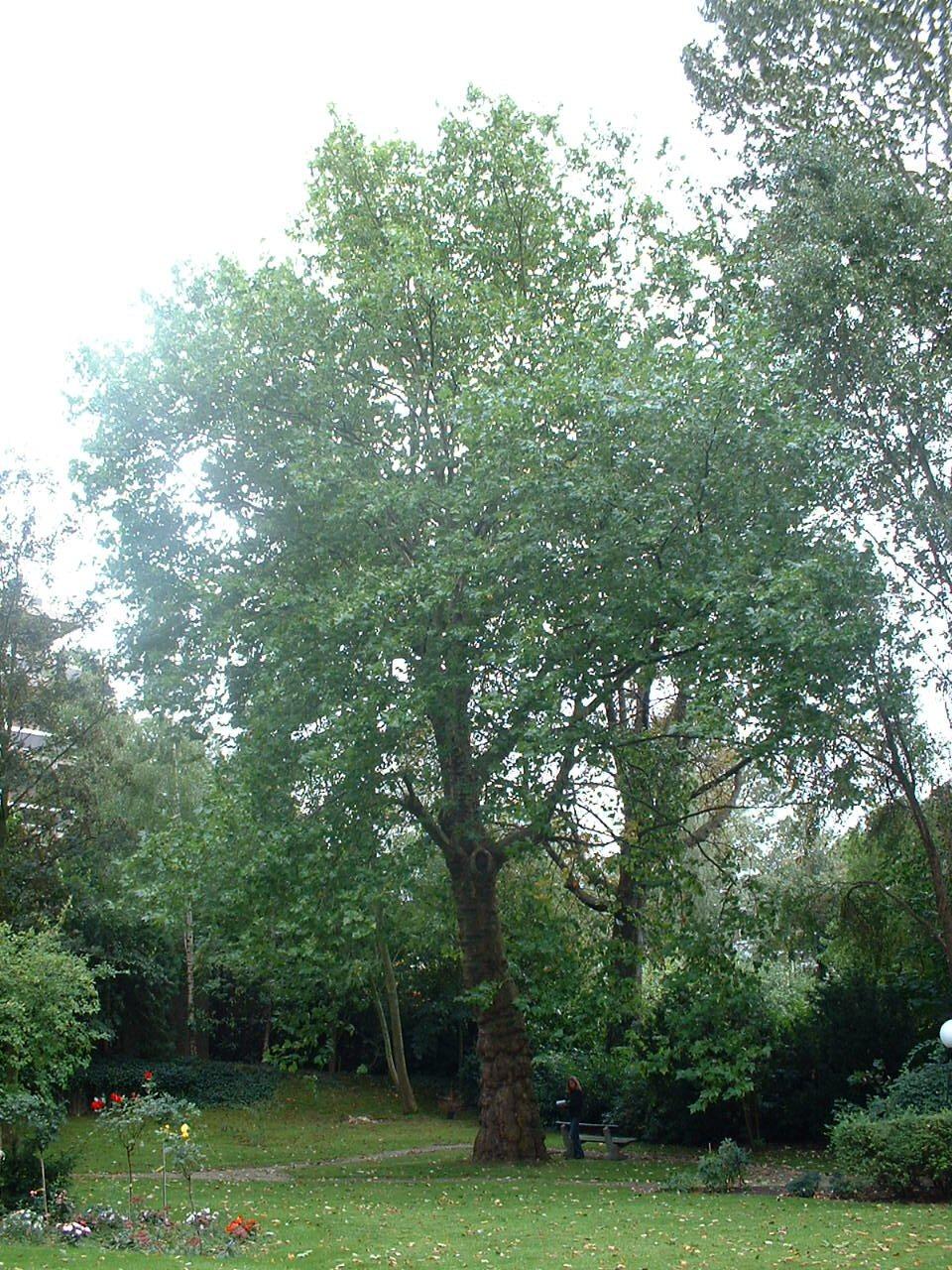 Platane à feuille d'érable – Bruxelles, Domaine du Mont Saint-Alban, Avenue Jean Sobieski, 13-15-17 –  02 Octobre 2006