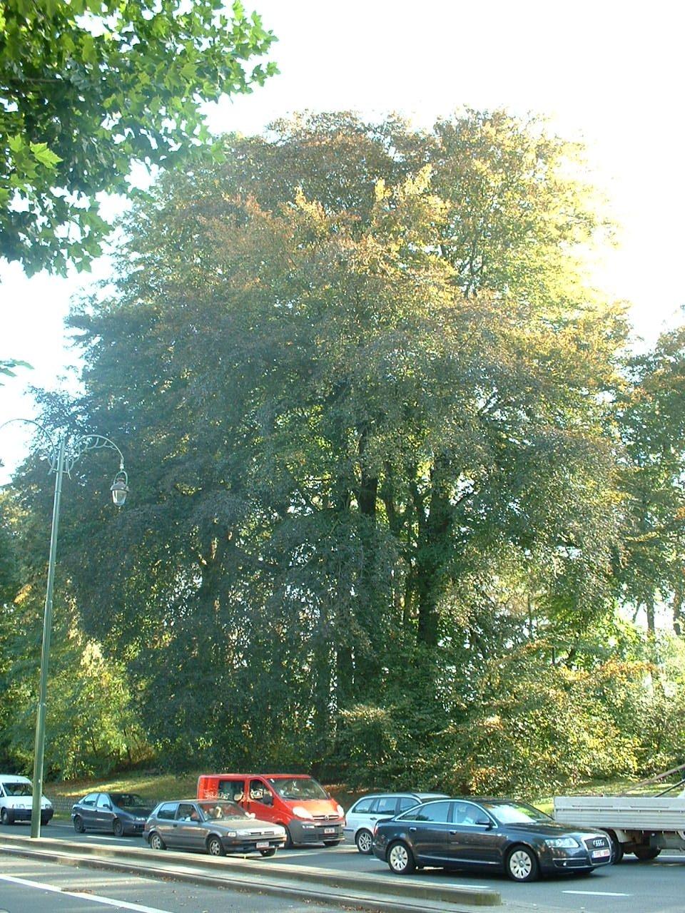 Rode beuk – Brussel, Vuurkruisenlaan –  13 Oktober 2006