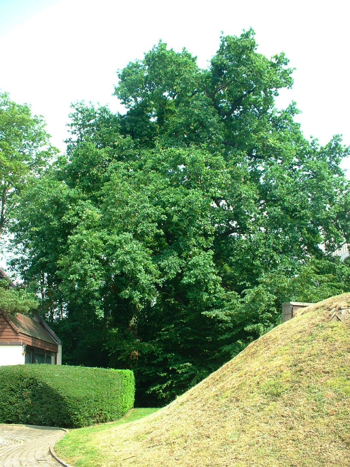 Chêne pédonculé – Bruxelles, Avenue des Coccinelles, 95 –  25 Mai 2007