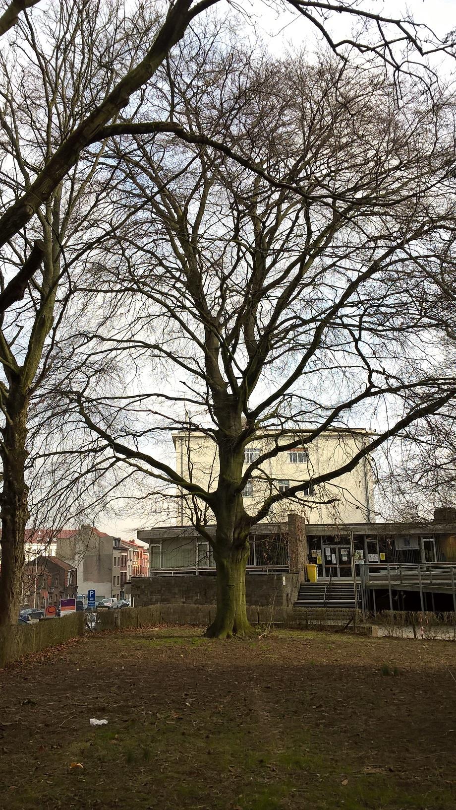 Hêtre pourpre – Anderlecht, Parc Forestier –  08 Février 2018