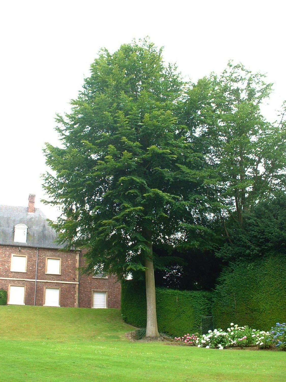Gewone haagbeuk – Watermaal-Bosvoorde, Het park van het kasteel Morel, Nisardstraat, 6 –  28 Juni 2007