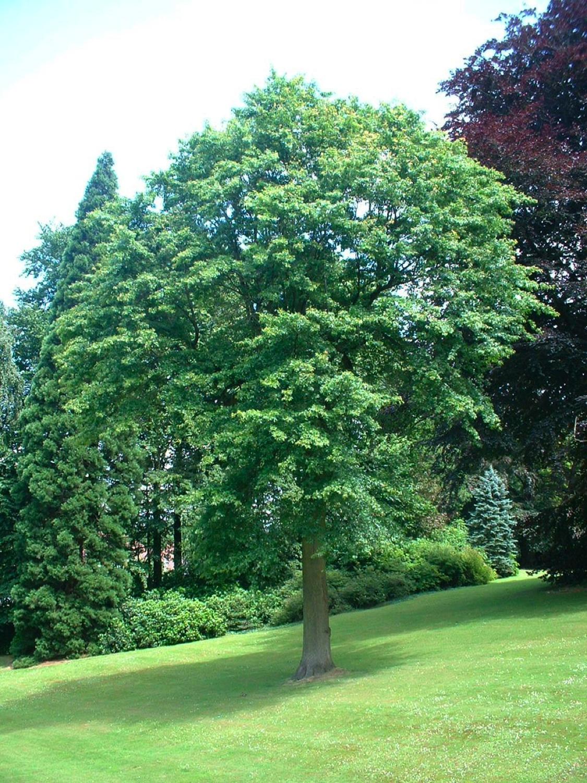 Chêne des marais – Watermael-Boitsfort, Parc du château Morel, Rue Nisard, 6 –  28 Juin 2007