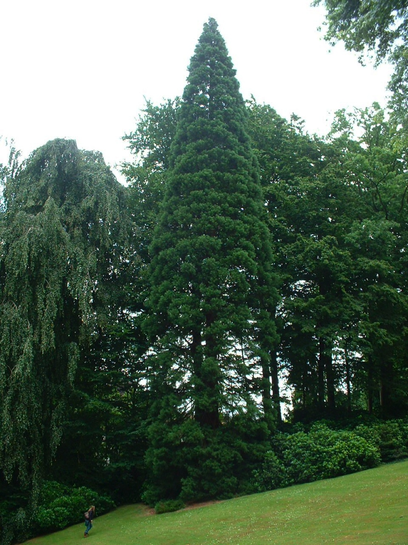 Sequoia géant – Watermael-Boitsfort, Parc du château Morel, Rue Nisard, 6 –  28 Juin 2007