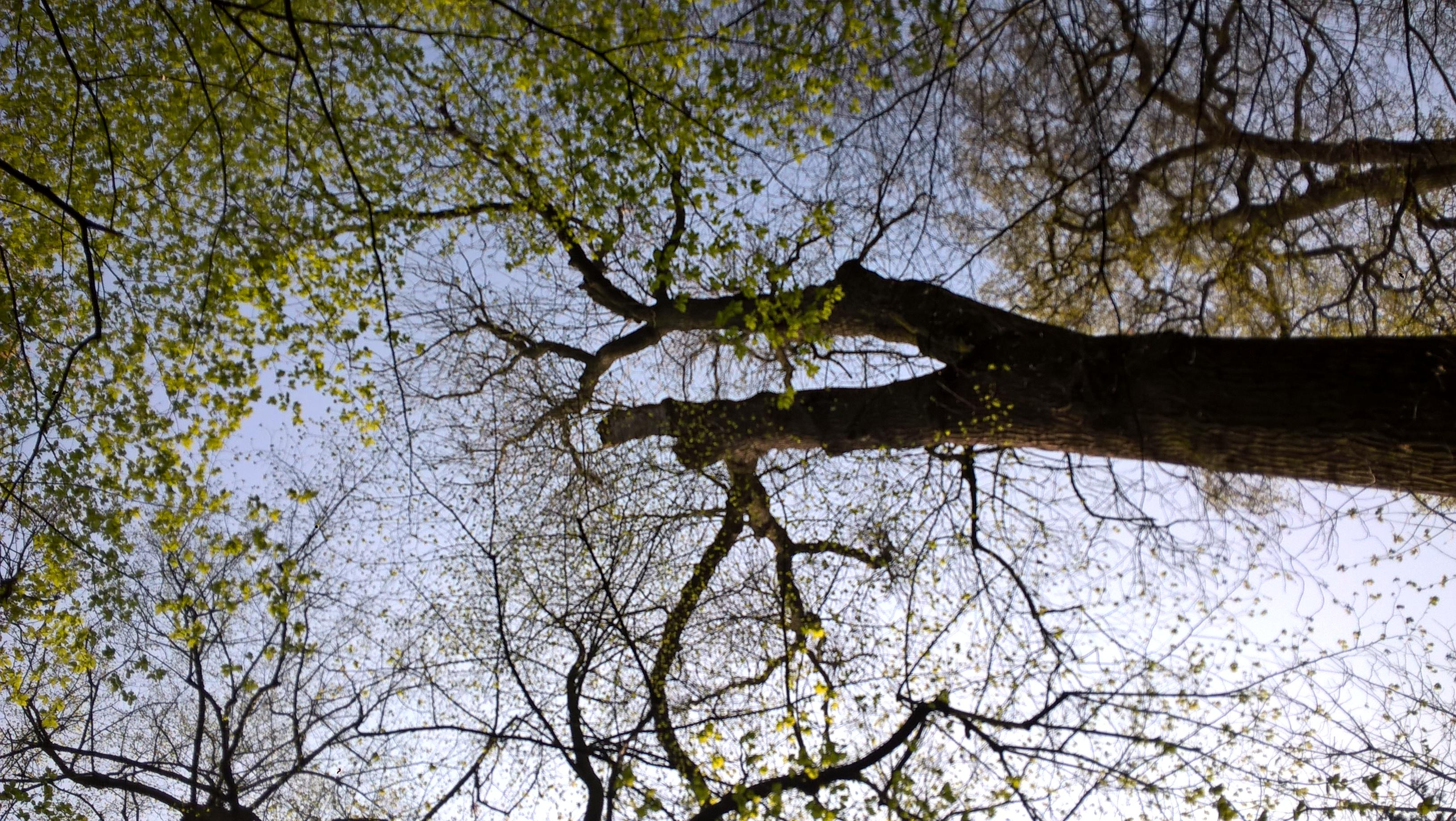 Frêne commun – Bruxelles, Bois de la Cambre –  20 Avril 2021