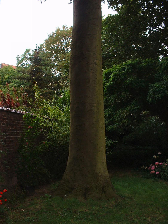 Hêtre pourpre – Saint-Gilles, Rue de Lombardie, 35 –  23 Juillet 2007