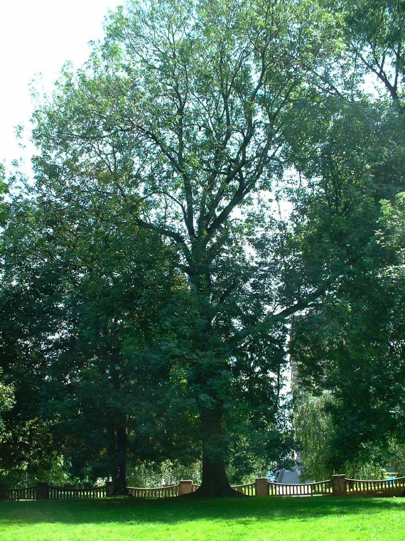 Frêne commun – Anderlecht, Parc Rauter, Rue Victor Rauter –  01 Août 2007