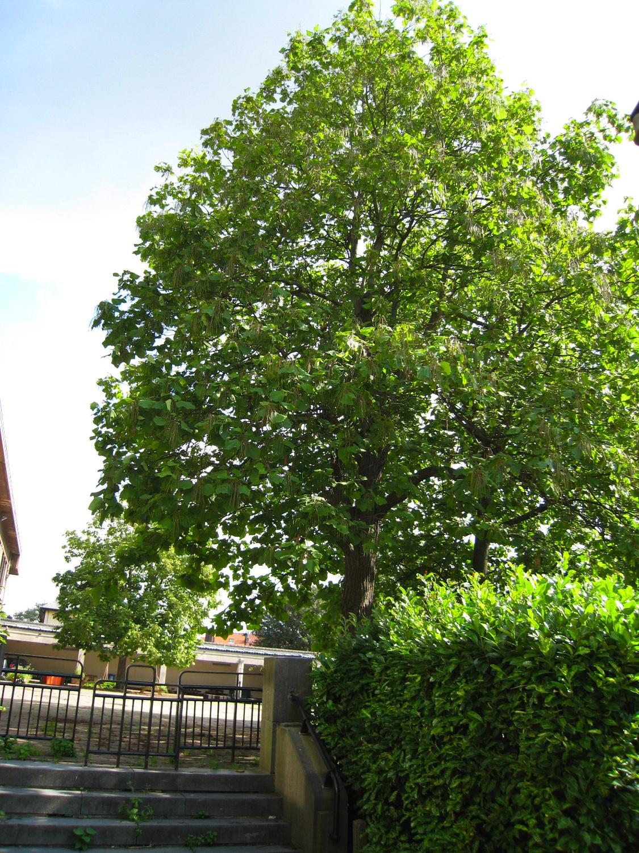 Catalpa commun – Anderlecht, Ecole de la Roue, Rue des Citoyens –  07 Août 2007