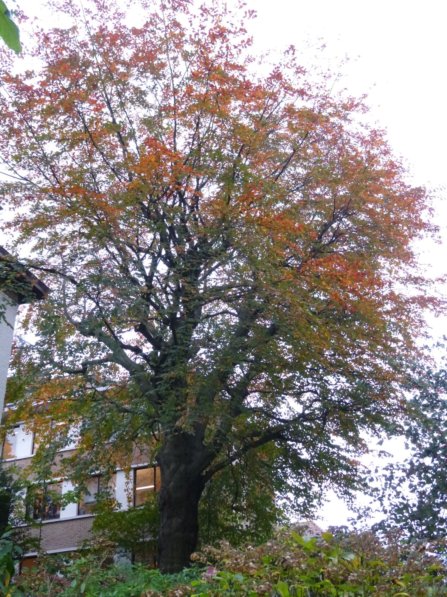 Hêtre pourpre – Uccle, Avenue De Fré, 231 –  07 Novembre 2014