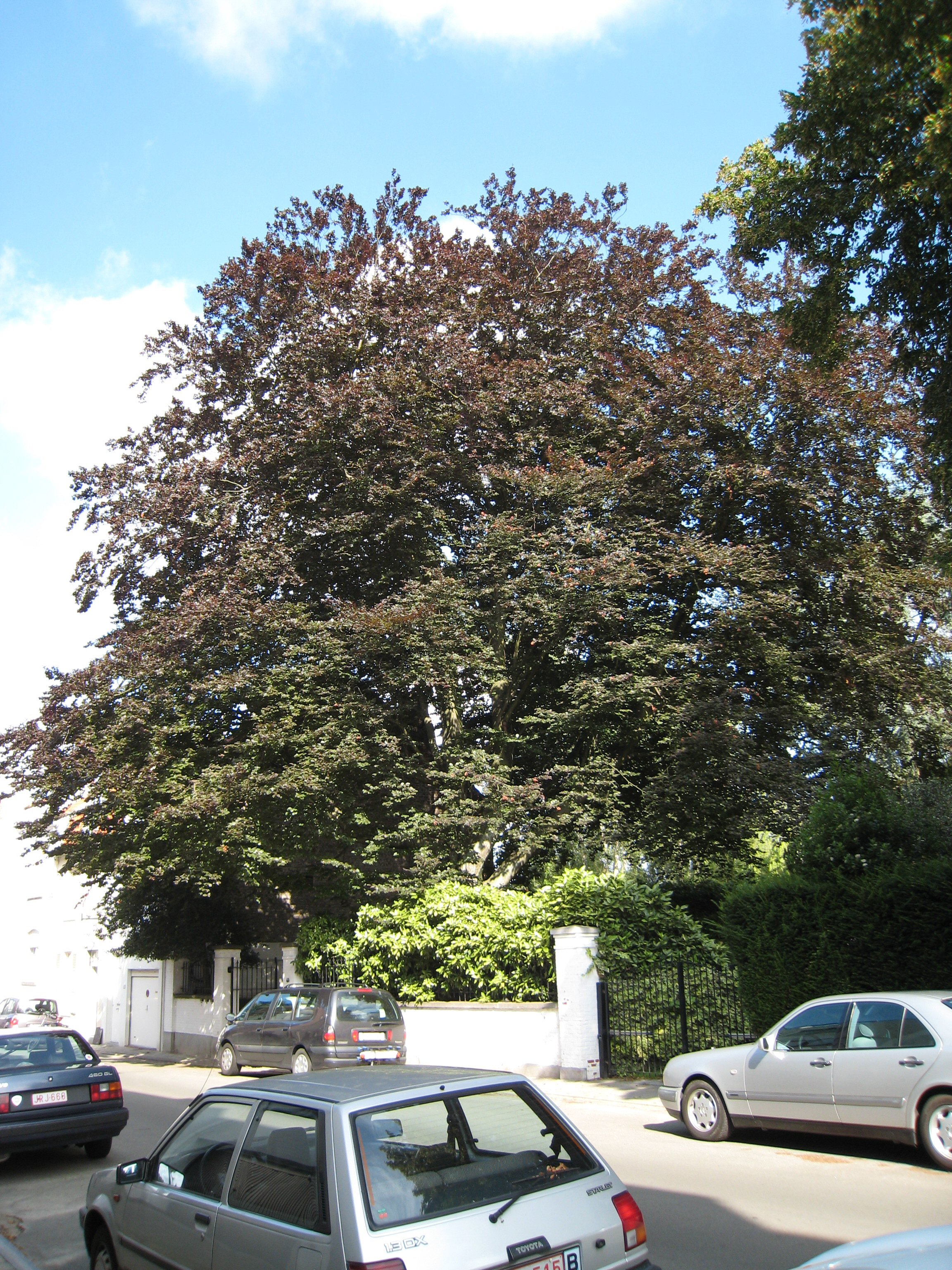Hêtre pourpre – Uccle, Rue Langeveld, 40 –  07 Août 2007