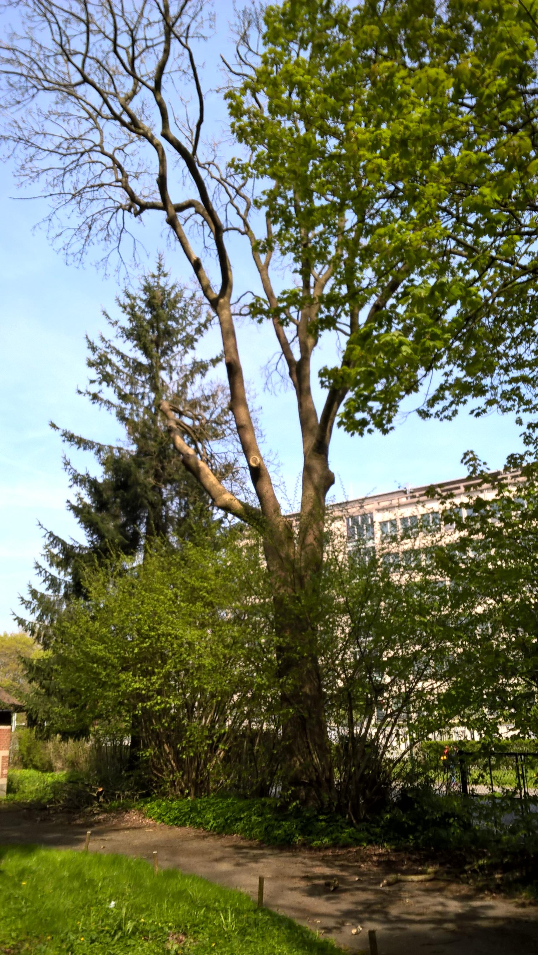 Fraxinus excelsior var. diversifolia – Uccle, Domaine Latour de Freins, Rue Engeland, 555 –  20 Avril 2017