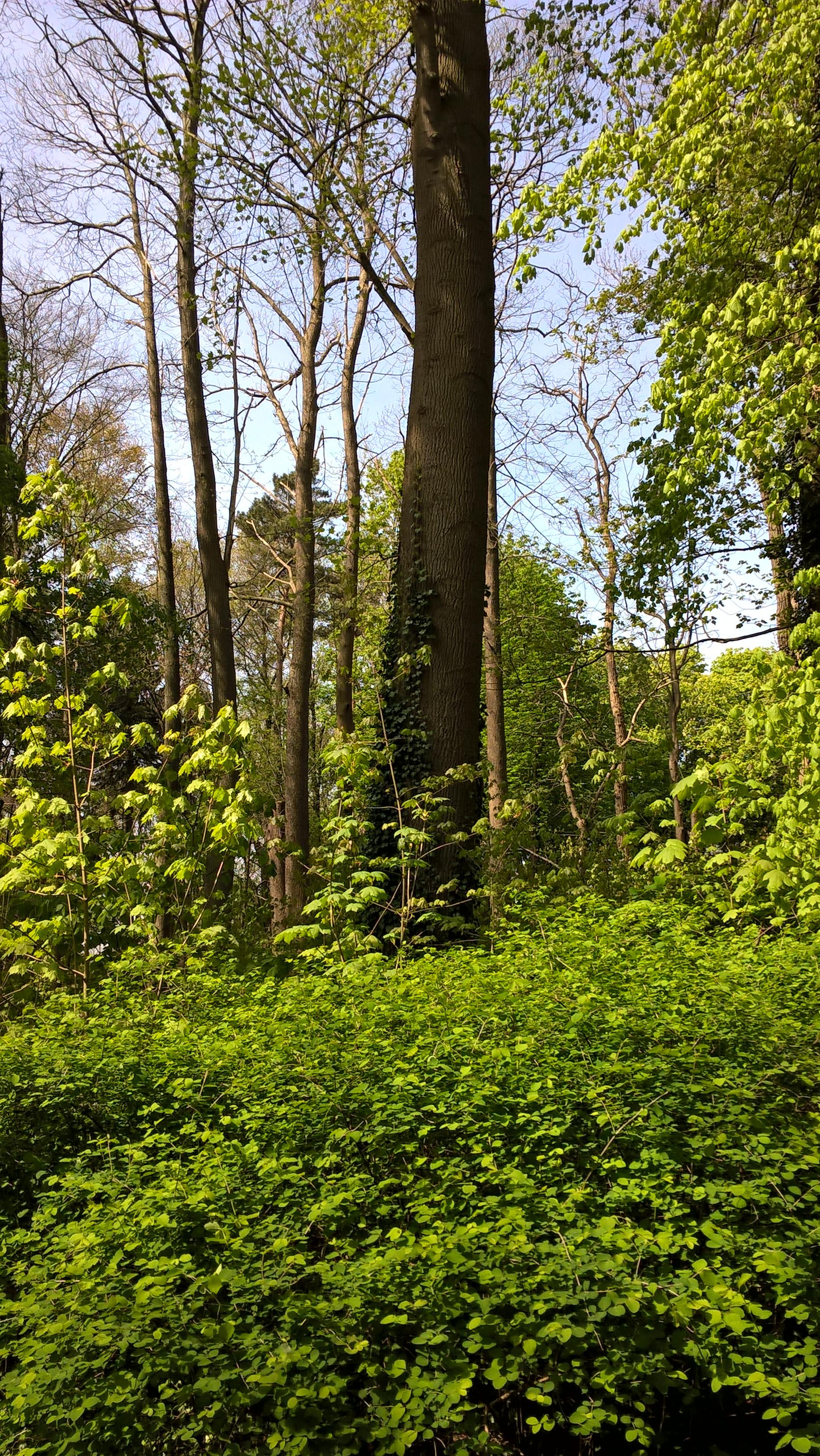 Tulpenboom – Ukkel, Domein Latour de Freins, Engelandstraat, 555 –  20 April 2017