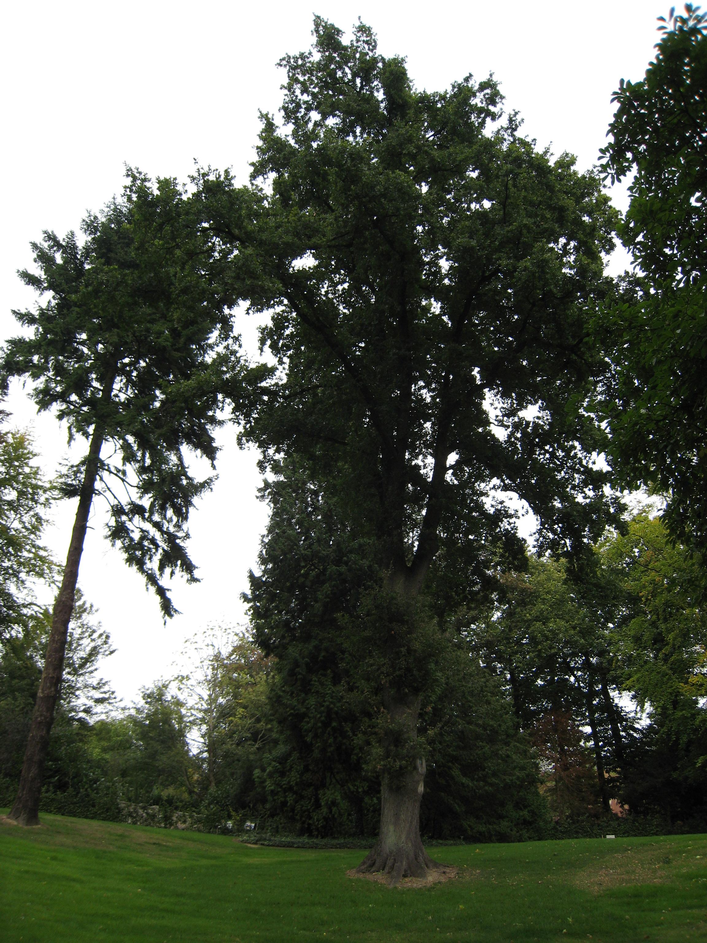 Chêne pédonculé – Uccle, Avenue du Vert Chasseur, 64 –  14 Septembre 2007