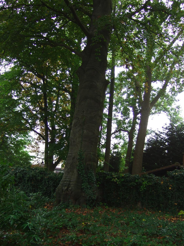 Hêtre pourpre – Jette, Parc Titeca, Drève de Dieleghem, 79 –  08 Octobre 2007