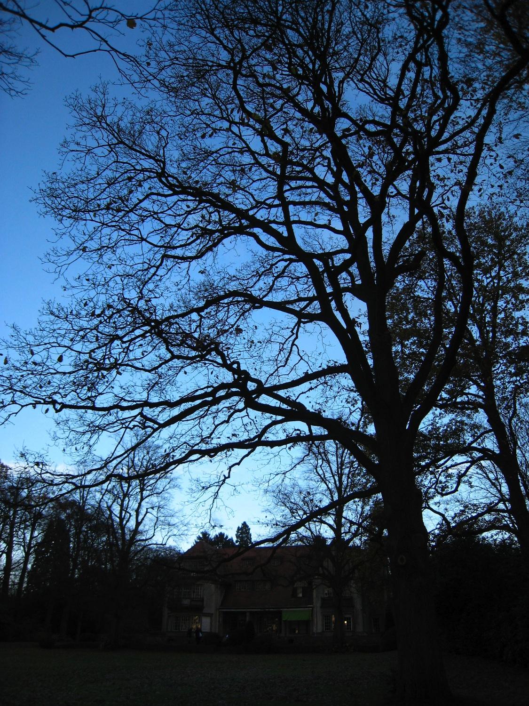 Chêne sessile – Uccle, Drève de Lorraine, 25 –  12 Novembre 2007