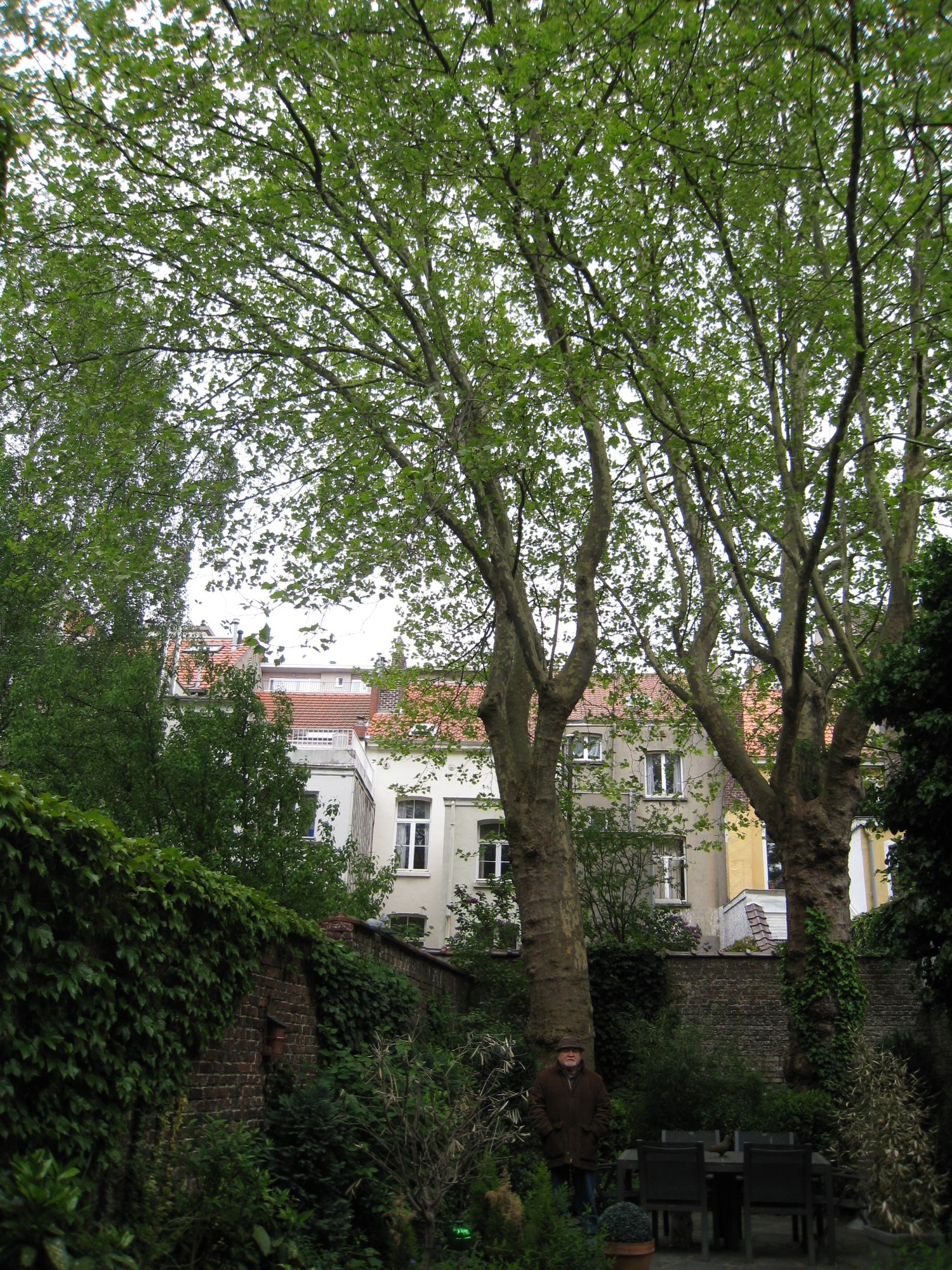 Platane à feuille d'érable – Bruxelles, Boulevard Charlemagne, 41 –  07 Mai 2010