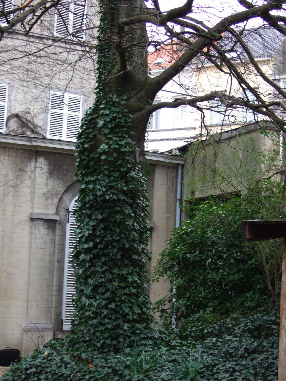 Hêtre pourpre – Ixelles, Rue Souveraine, 55 –  06 Mars 2008