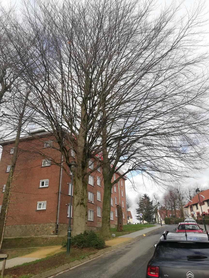 Hêtre pourpre – Anderlecht, Rue Rabelais –  05 Février 2021