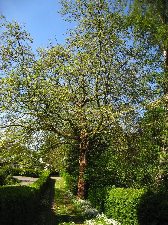 Platane à feuille d'érable – Uccle, Avenue du Prince d'Orange, 33a –  07 Mai 2008