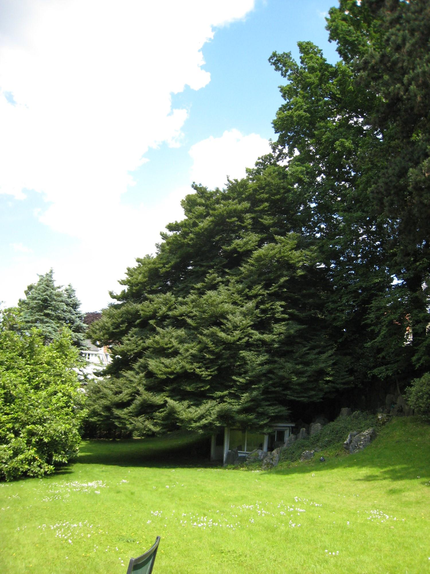 Hêtre à feuilles lacinées – Forest, Avenue Besme, 22 –  17 Juin 2008