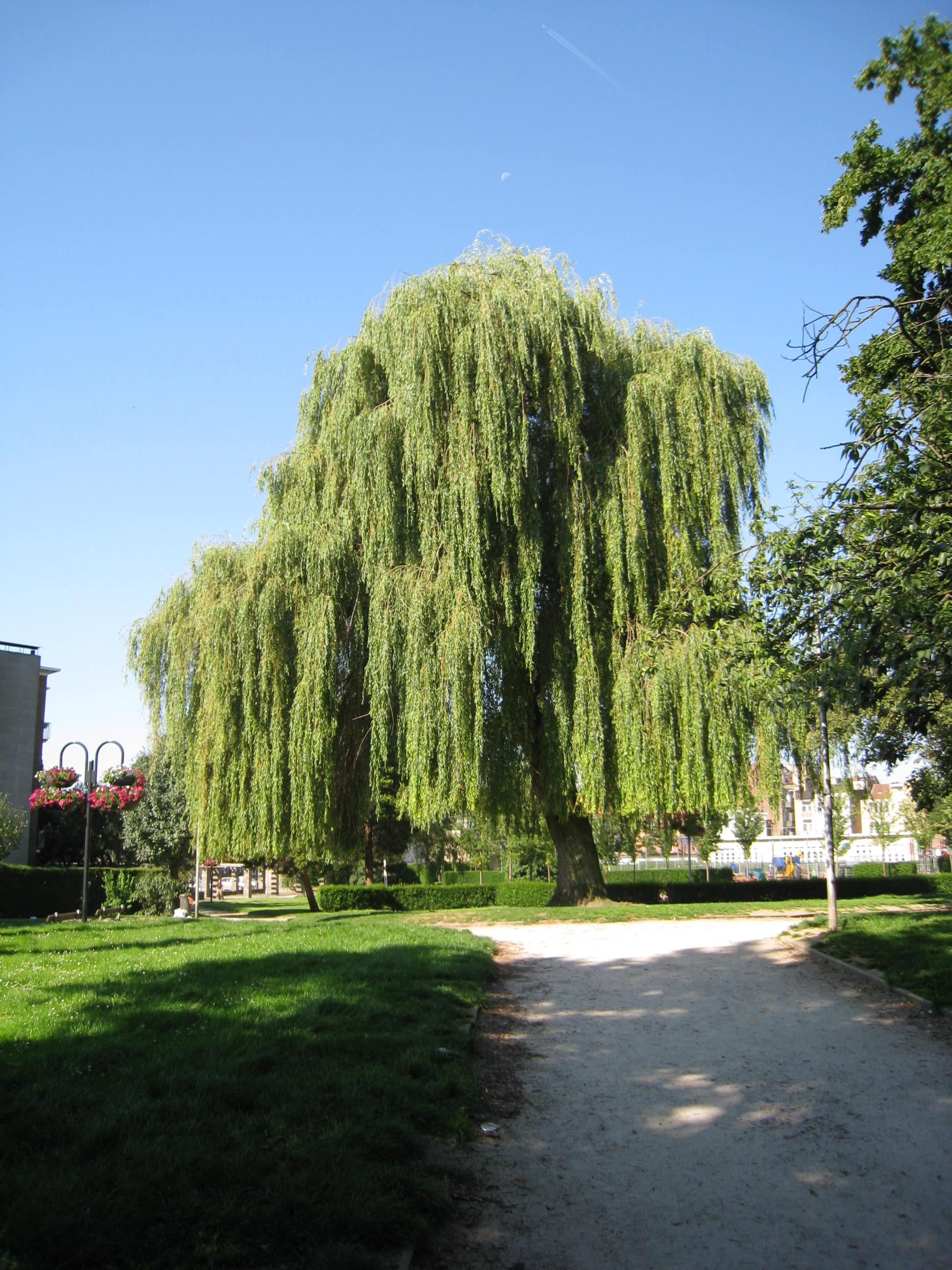 Saule pleureur – Anderlecht, Parc du Busselenberg, Rue Lieutenant Liedel –  25 Juillet 2008