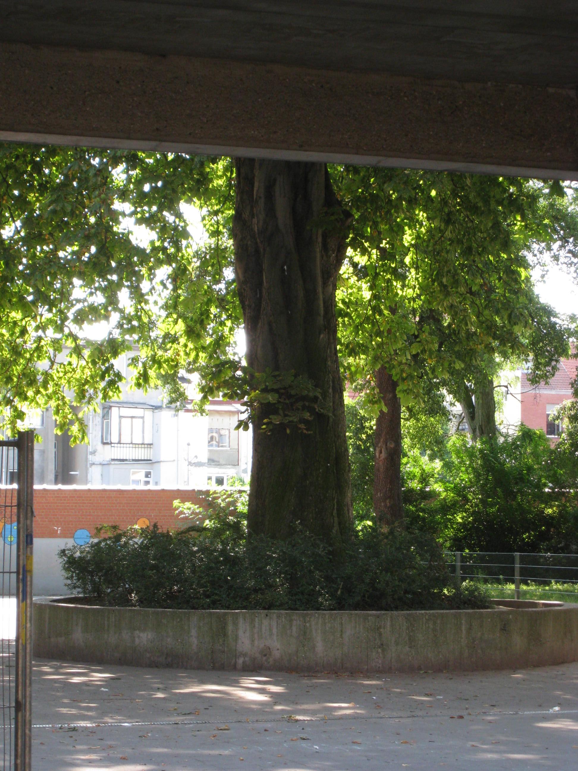 Marronnier commun – Anderlecht, Rue de Veeweyde, 80 –  25 Juillet 2008