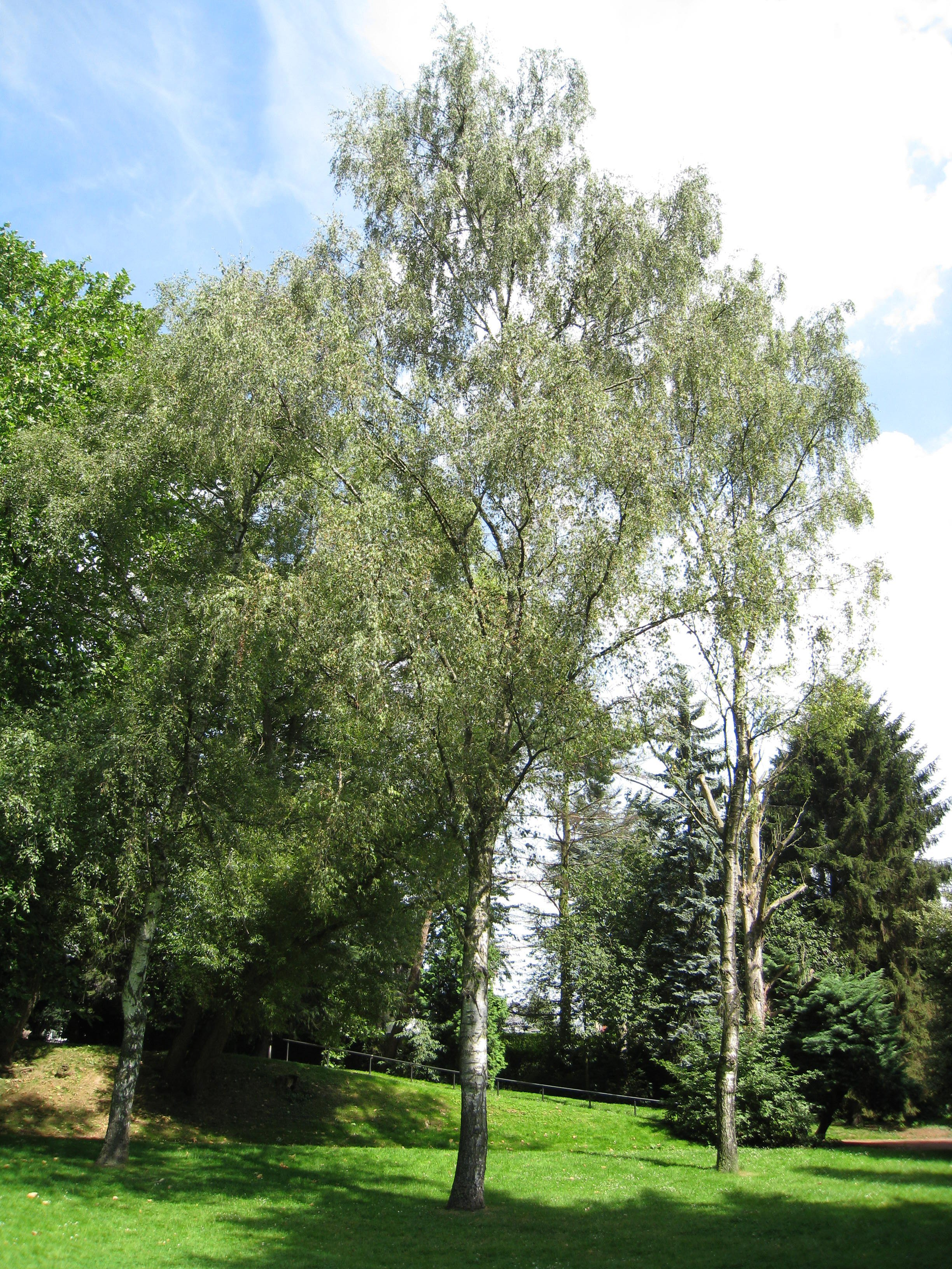 Betula pendula 'Laciniata' – Anderlecht, Scherdemaelpark, parc –  30 Juli 2008