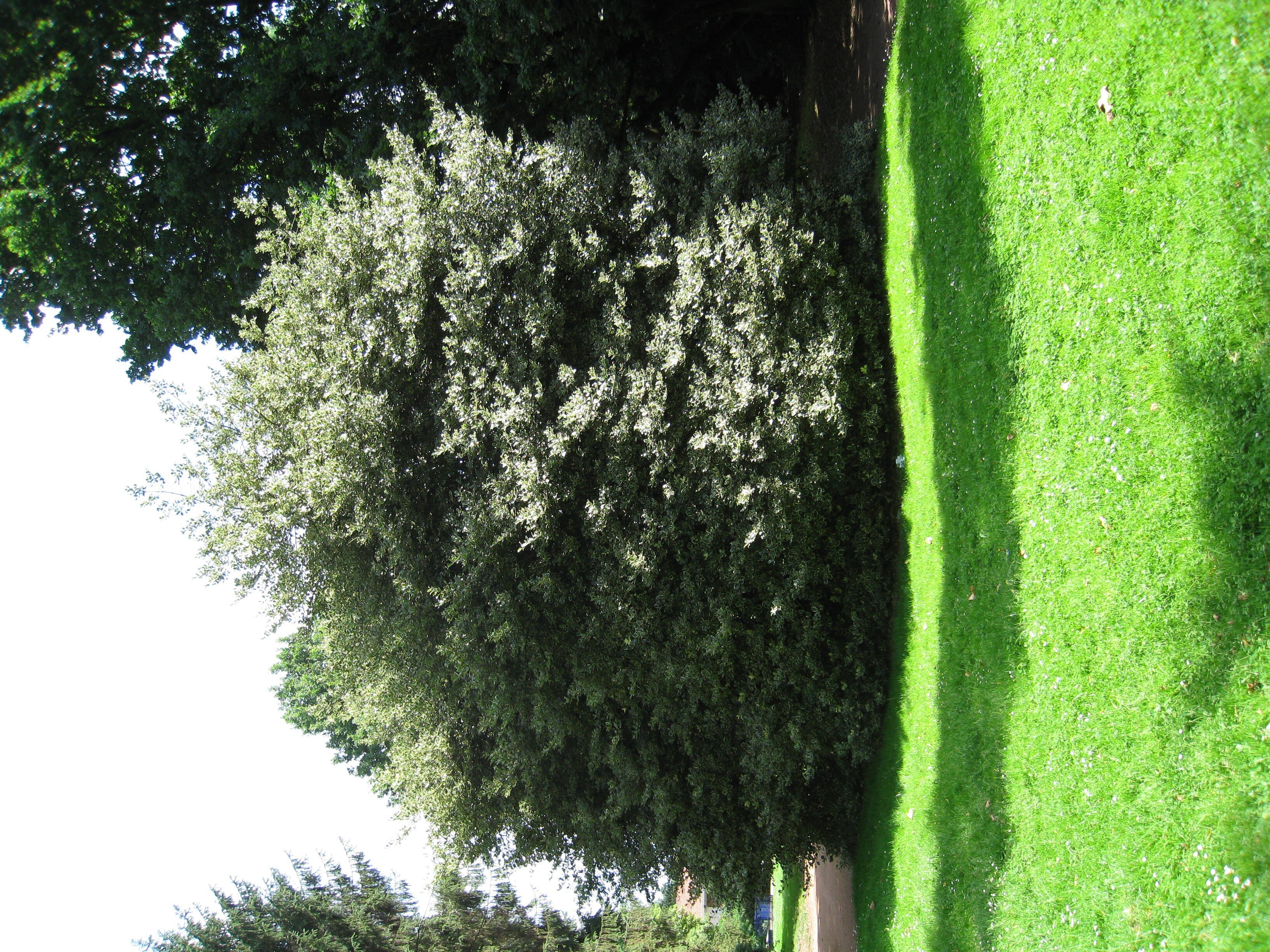 Ilex aquifolium 'Albomarginata' – Anderlecht, Parc de Scherdemael, parc –  30 Juillet 2008
