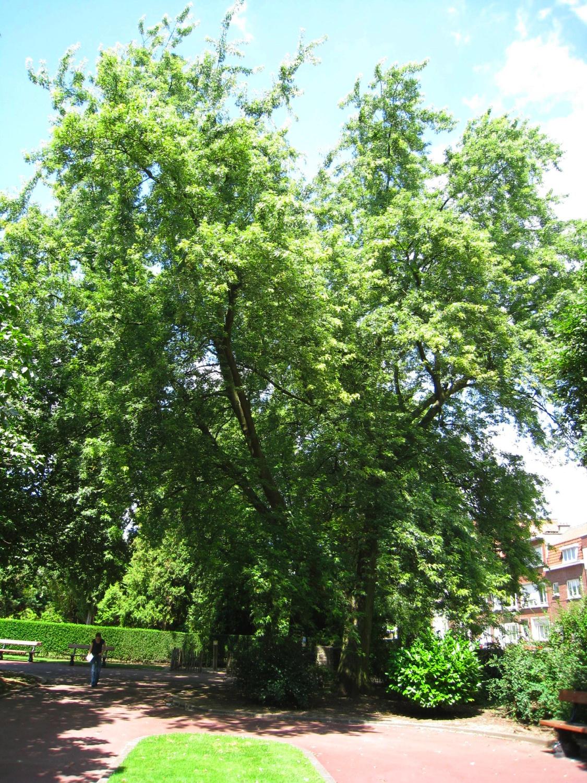 Acer saccharinum var. laciniatum – Anderlecht, Parc Joseph Lemaire, Rue Claude Debussy –  29 Juillet 2008
