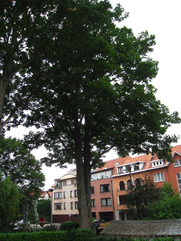 Gewone esdoorn – Anderlecht, Itterbeekse Laan, 236-238 –  28 August 2008