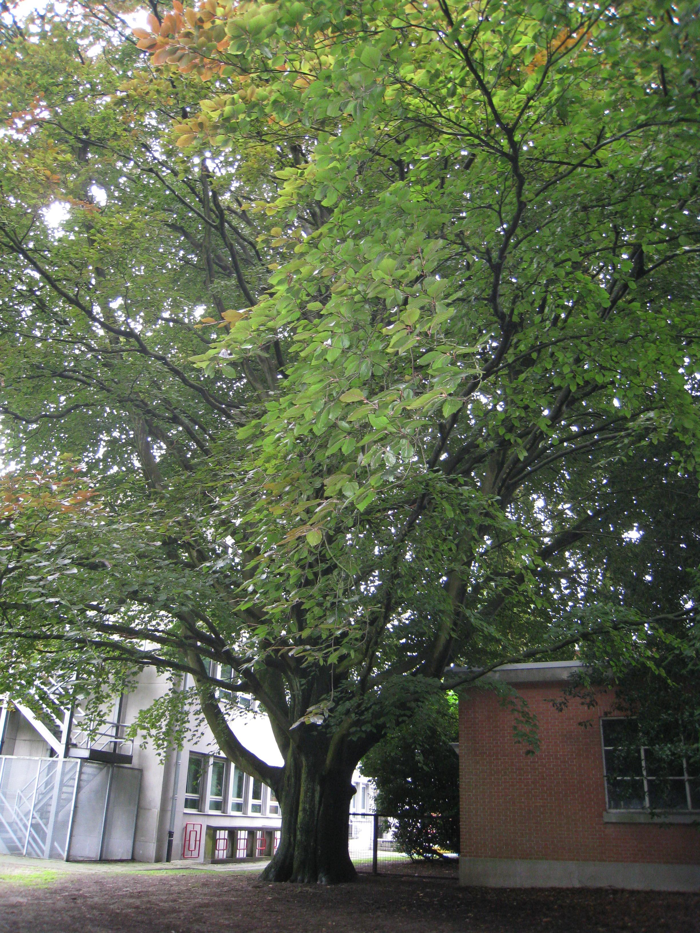 Hêtre pourpre – Uccle, Site de l'Observatoire royal, Avenue Circulaire, 1 –  08 Août 2008