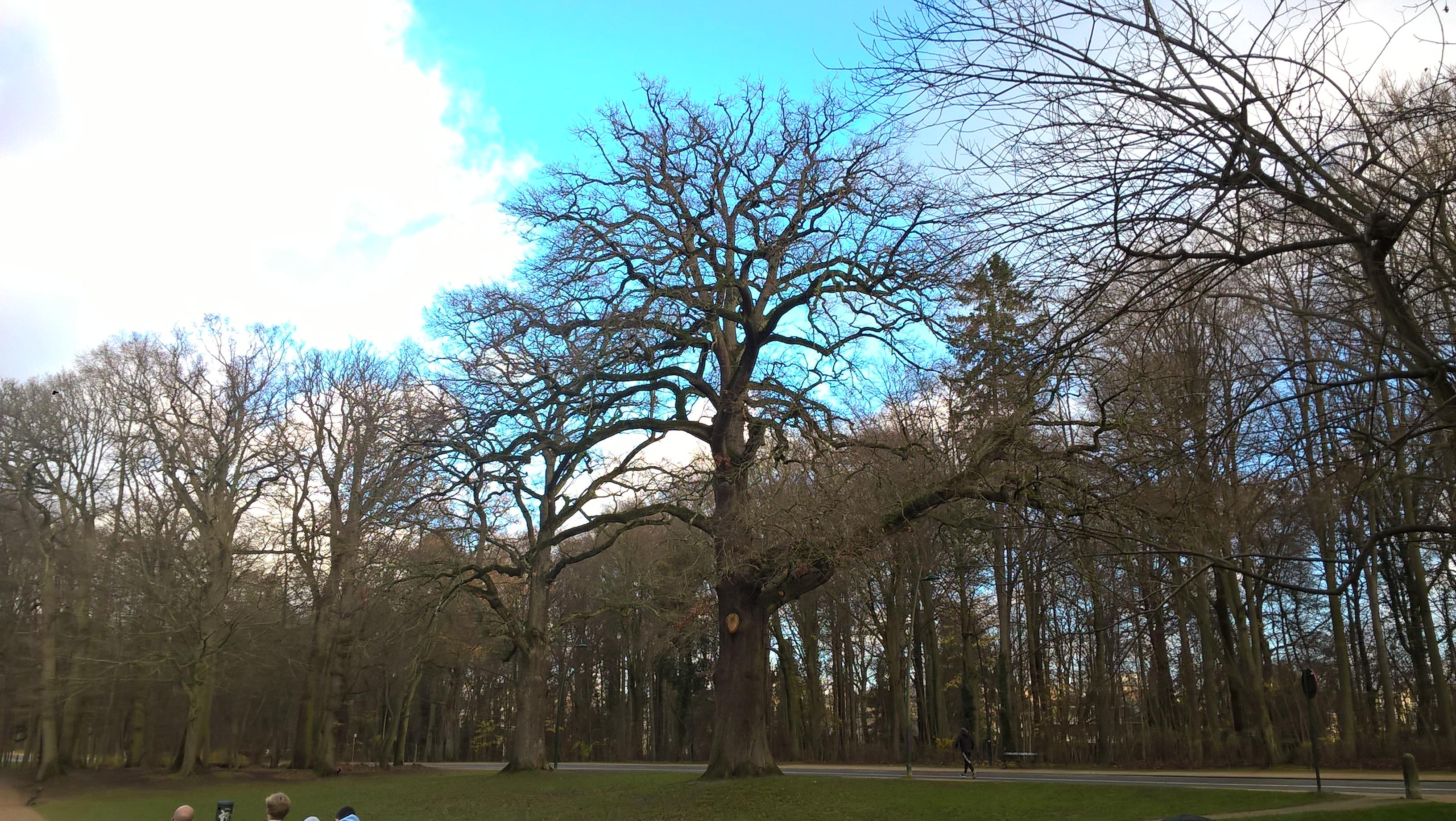 Chêne sessile – Bruxelles, Bois de la Cambre –  17 Décembre 2020