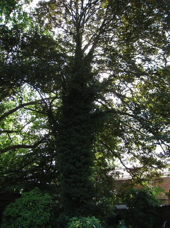 Acer pseudoplatanus 'Purpurascens' – Anderlecht, Rue de la Procession, 24 –  25 Août 2008