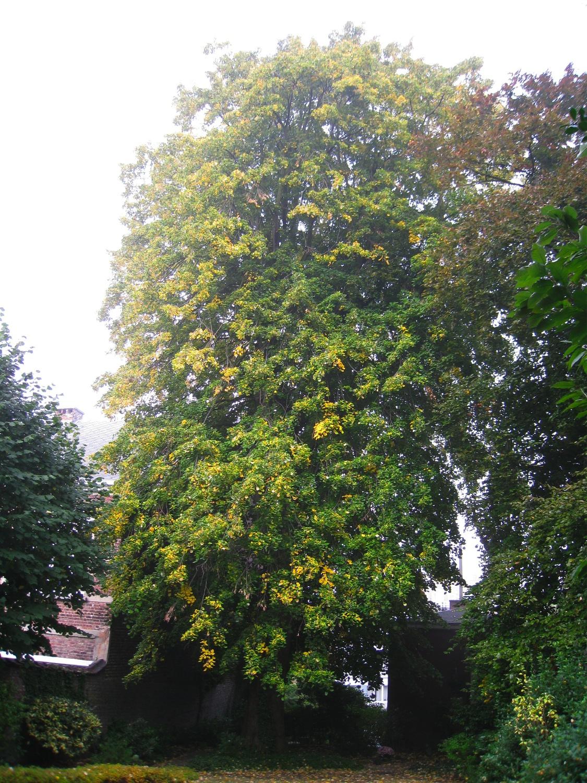 Tilleul argenté – Forest, Avenue Kersbeek, 46 –  09 Octobre 2008