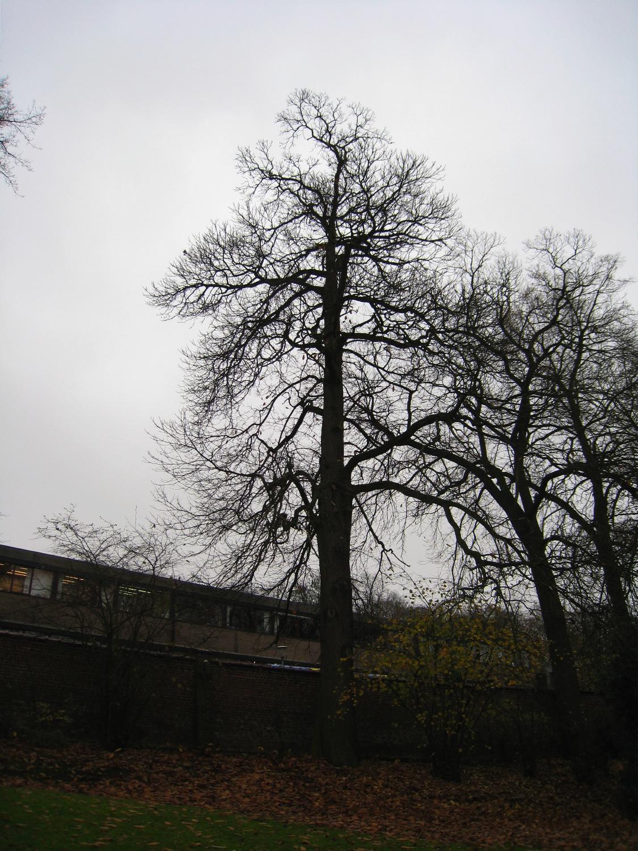Châtaignier – Forest, Avenue de Haveskercke, 78/84 –  19 Novembre 2008