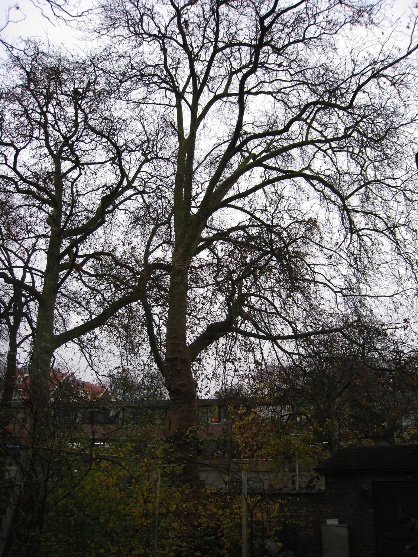 Gewone plataan – Vorst, de Haveskerckelaan, 78/84 –  19 November 2008