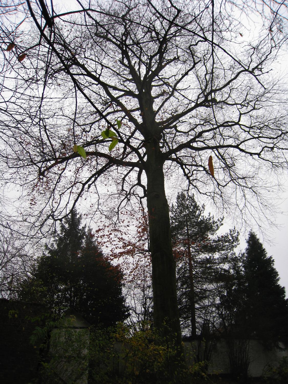 Hêtre pourpre – Forest, Avenue de Haveskercke, 78/84 –  19 Novembre 2008