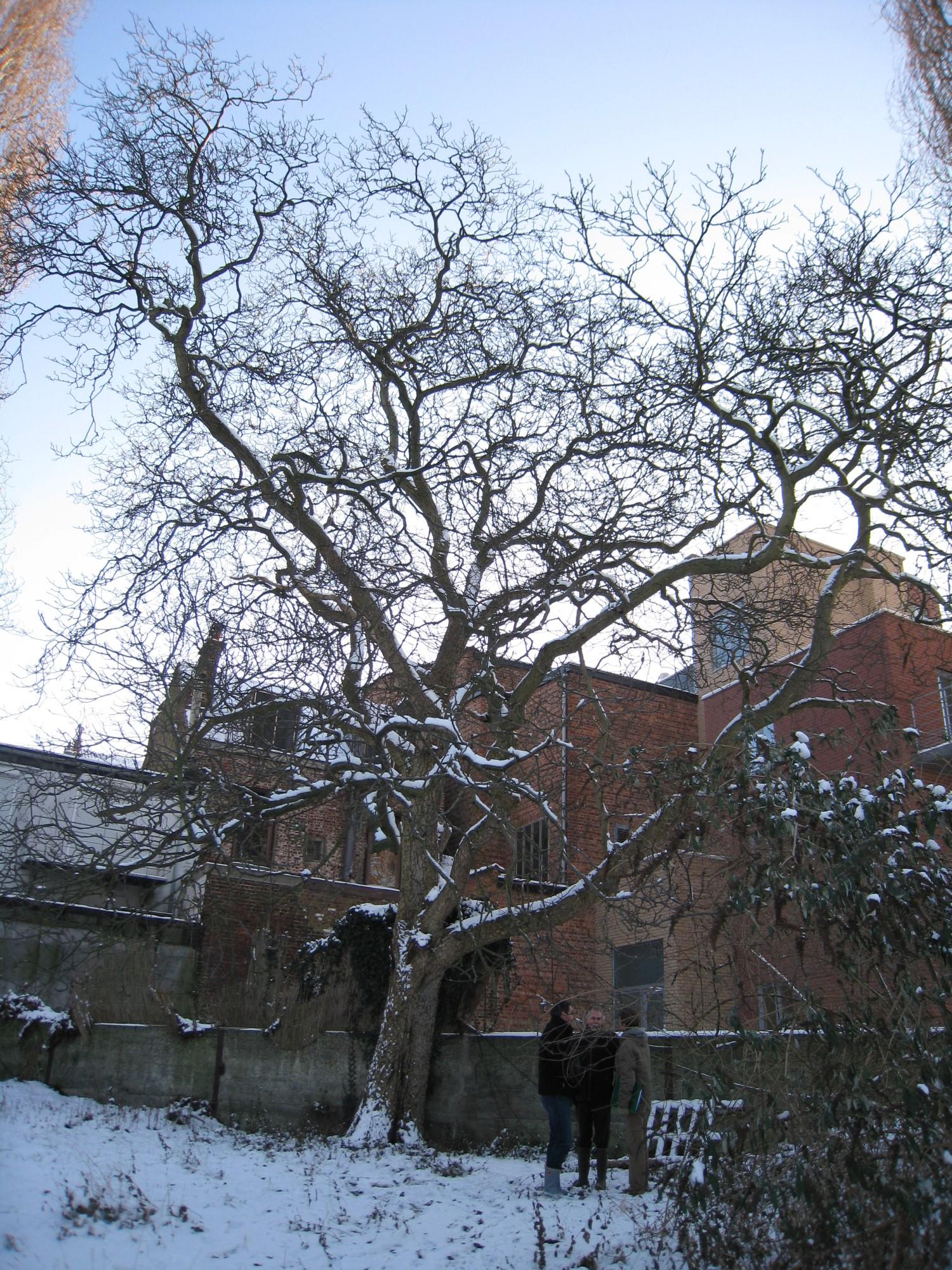 Noyer royal – Uccle, Rue de Stalle, 40 –  06 Janvier 2009