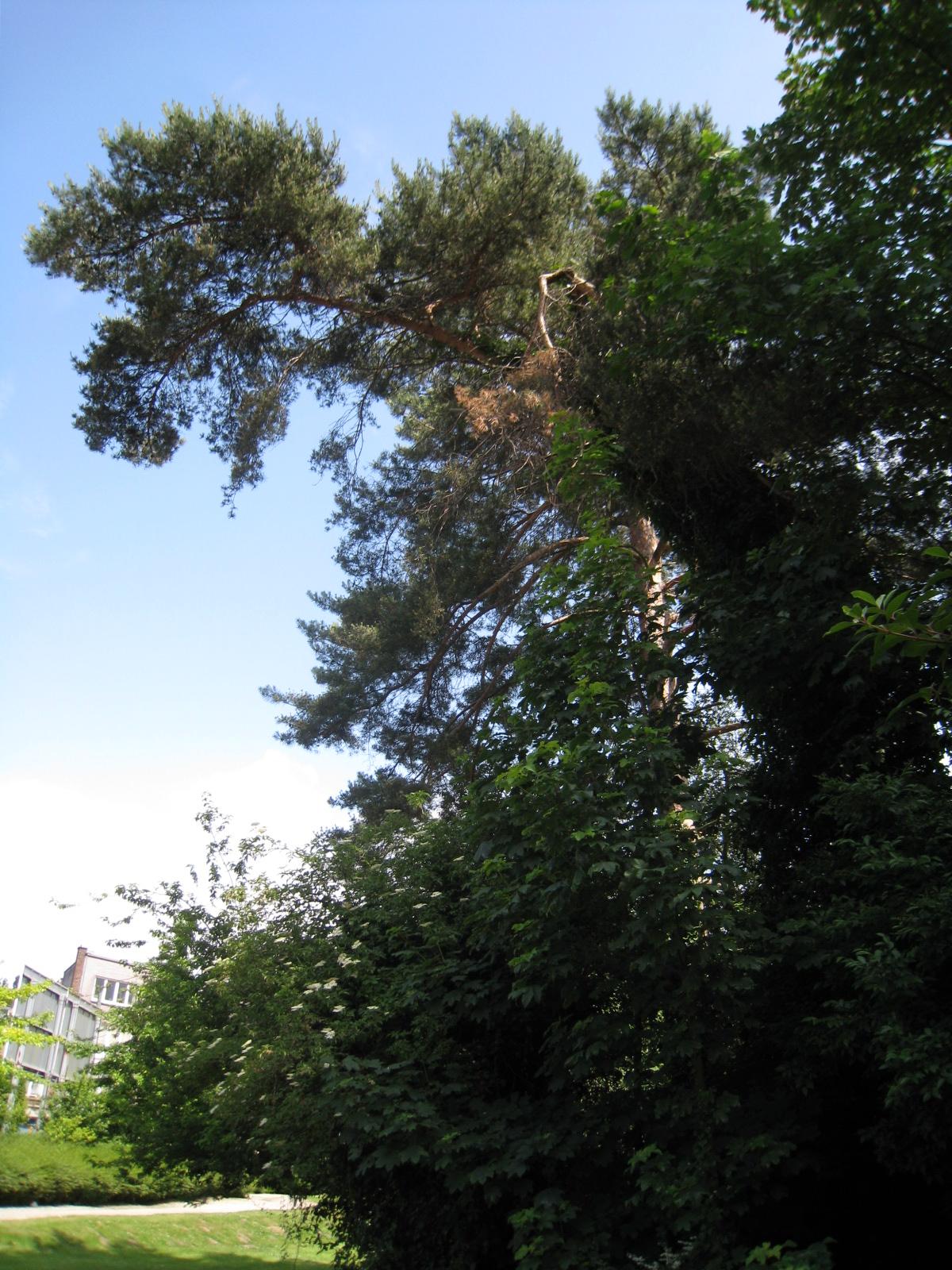 Pin sylvestre – Uccle, Cimetière du Dieweg, Chaussée de Ruisbroek –  05 Juin 2009