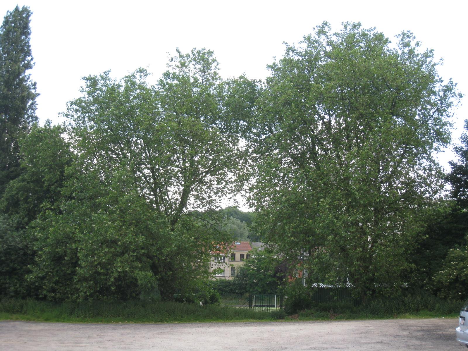 Platane à feuille d'érable – Uccle, Uccle sport, Chaussée de Ruisbroek –  05 Juin 2009